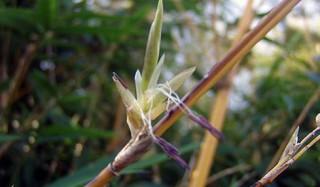 20150509-02竹の花
